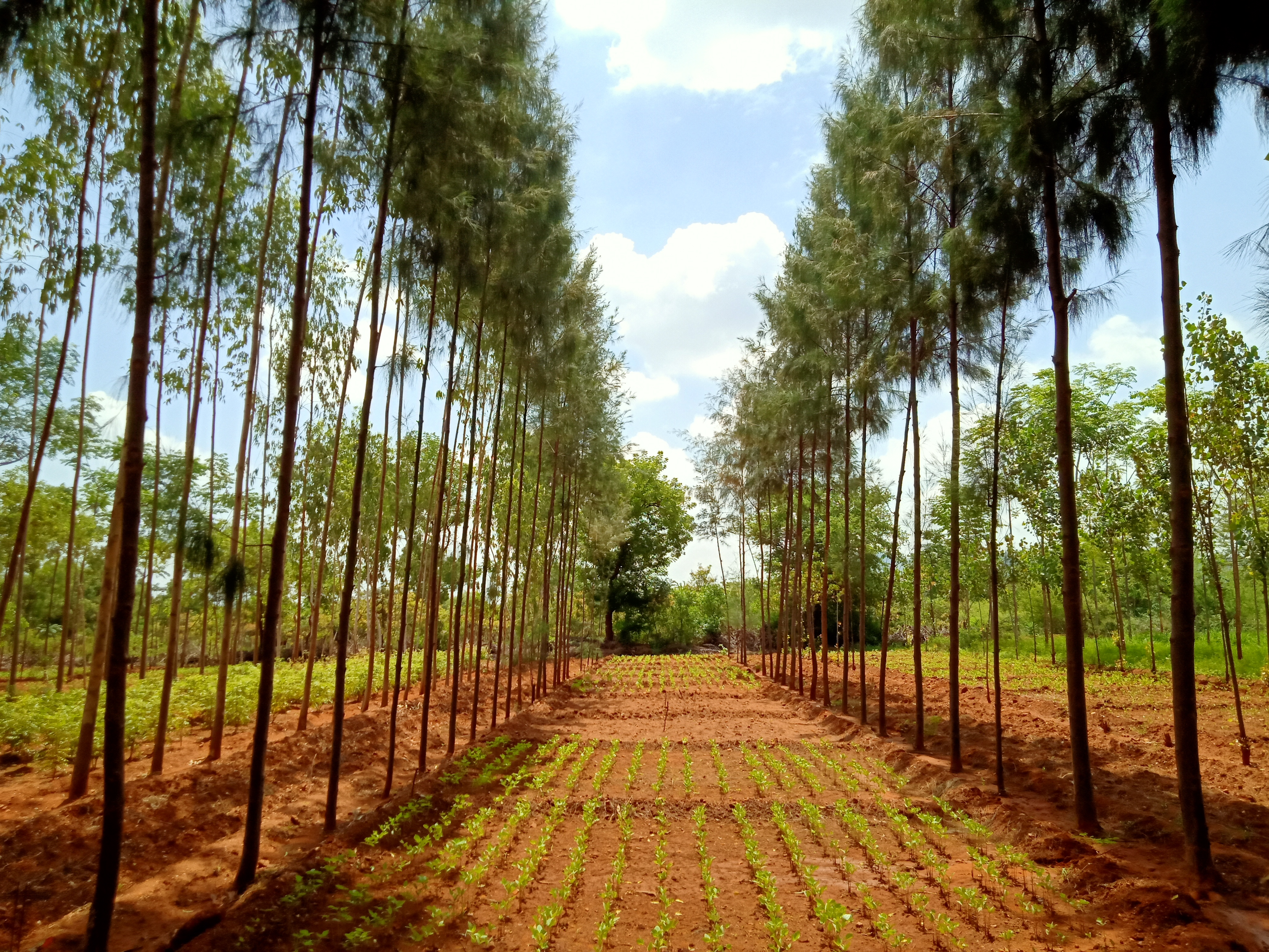 Agrisilviculture system - Casuarina + Green gram, Spacing 6 x1.5 m - 4 years old Intercrop (1)