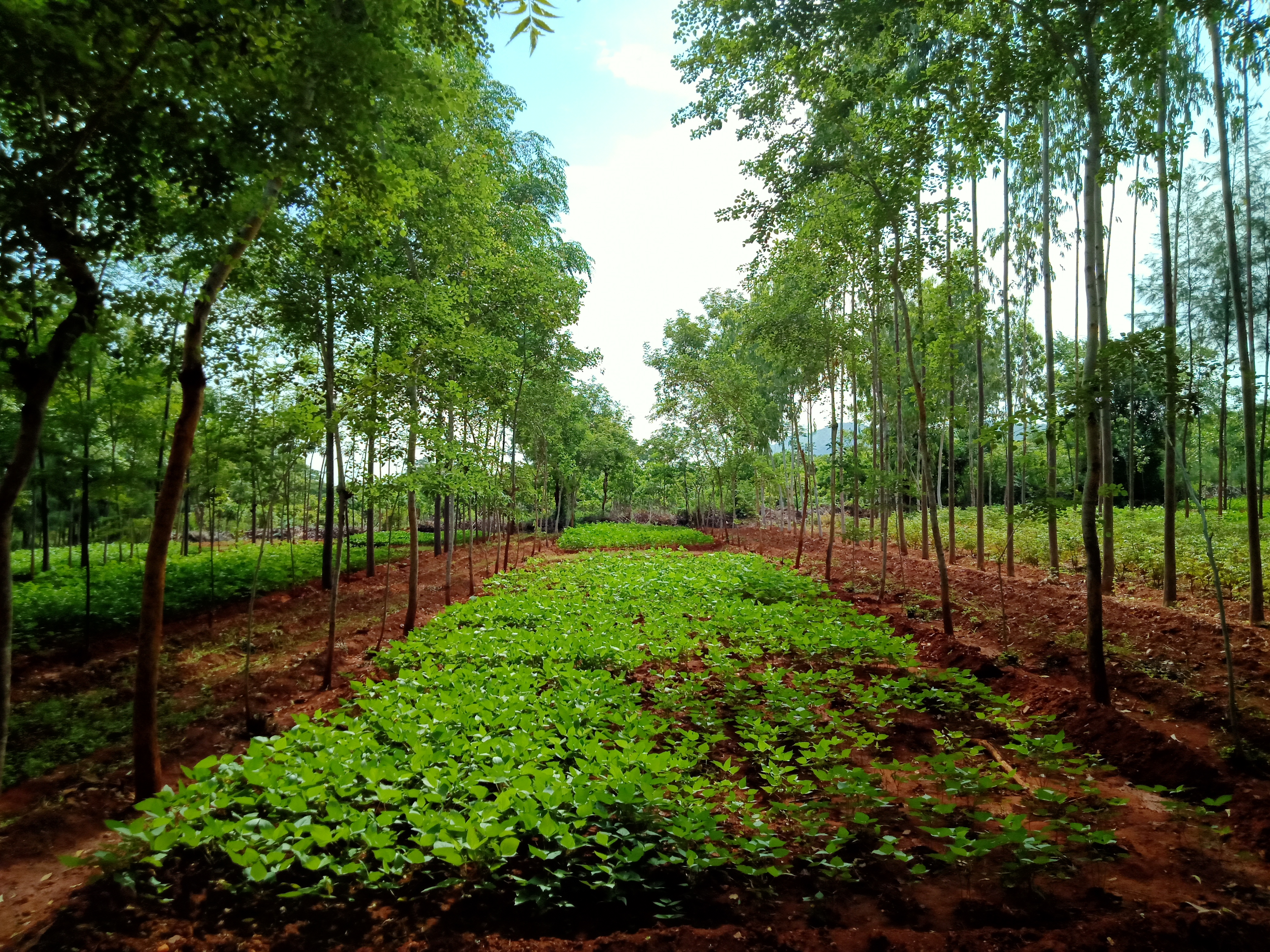 Agrisilviculture system- Dalbergia sissoo +Blackgram - Spacing - 6 x 1.5 m, Age - 4 years