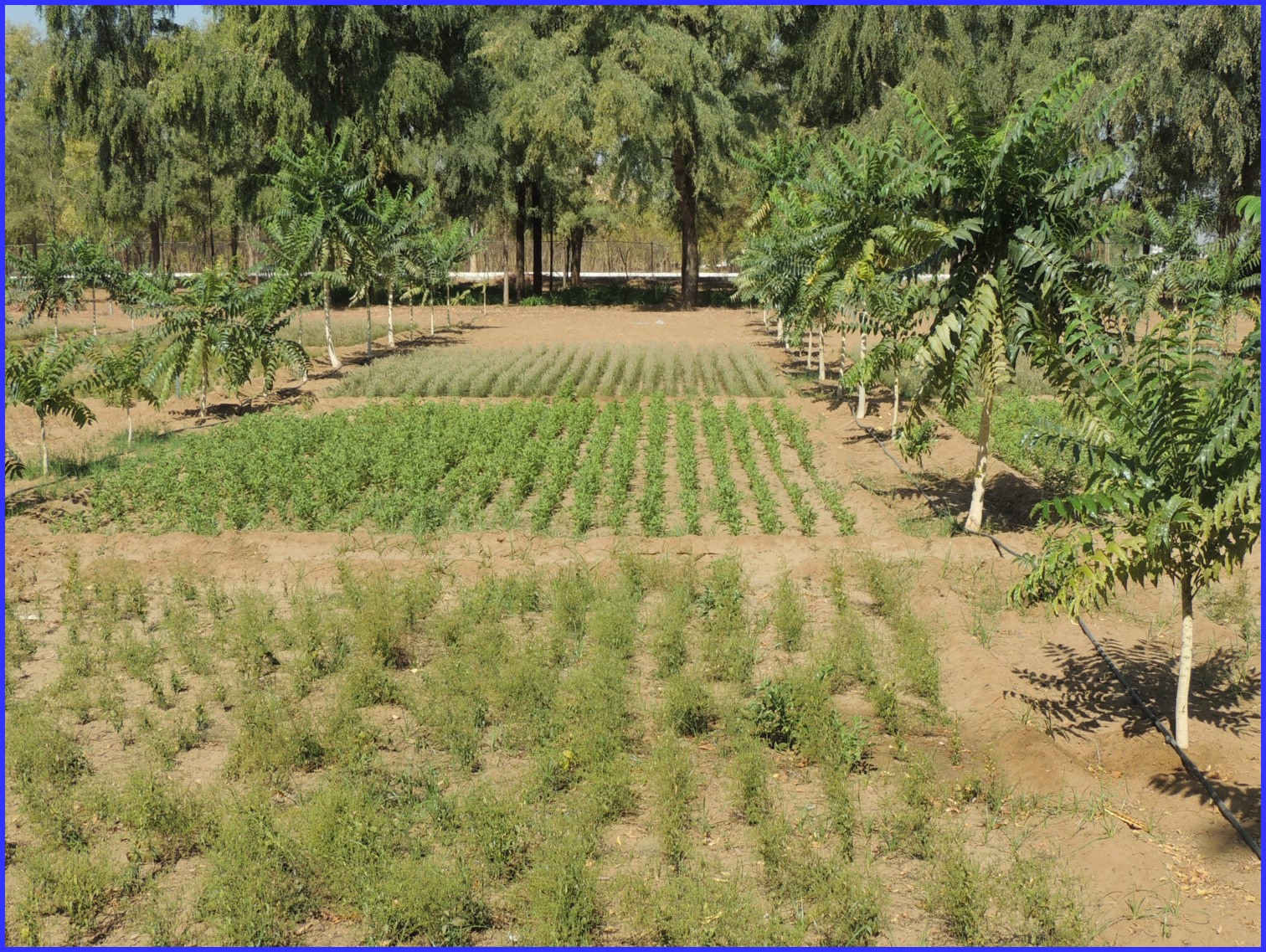 Ailanthus-based agroforestry