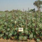 Promising varieties and hybrids