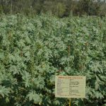 promising varieties and hybrids1