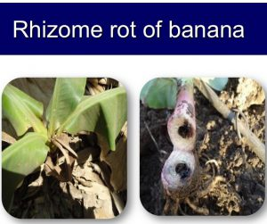 Banana rhizome rot_Ps