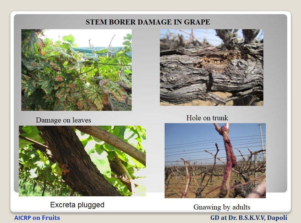 Grape stem borer