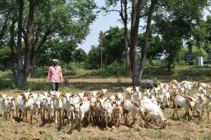 Barbari farmer with flock