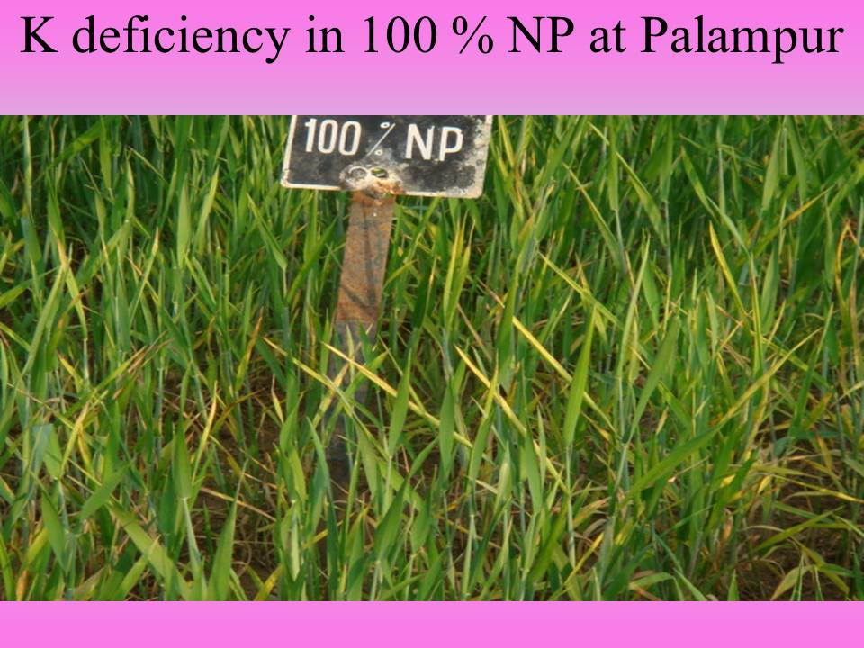 K deficiency in 100 % NP at Palampur