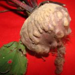 Beet root infested with root knot nematode, M.incognita showing malformation