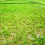 Paddy field affected by Rice root rot nematode