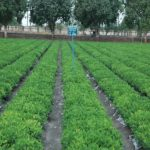 Breeder-Seed-Production-of-Field-Crops-at-various-cooperating-centres-of-AICRP-NSP-Crops