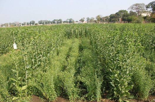 Remunerative intercrops with safflower+Linseed