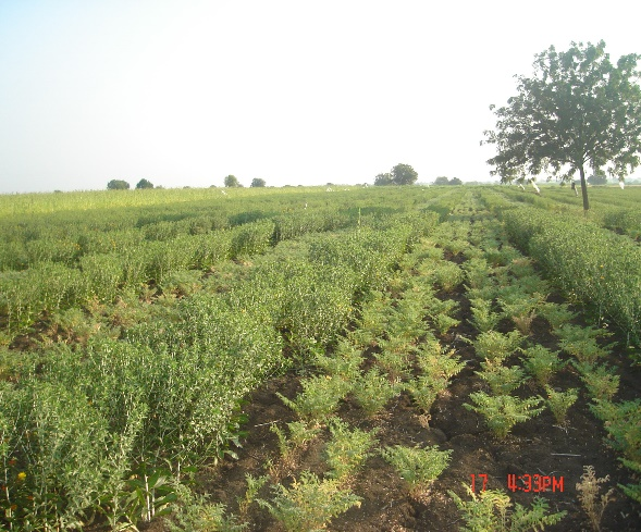Remunerative intercrops with safflower_Chickpea